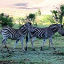 Addorable zebras